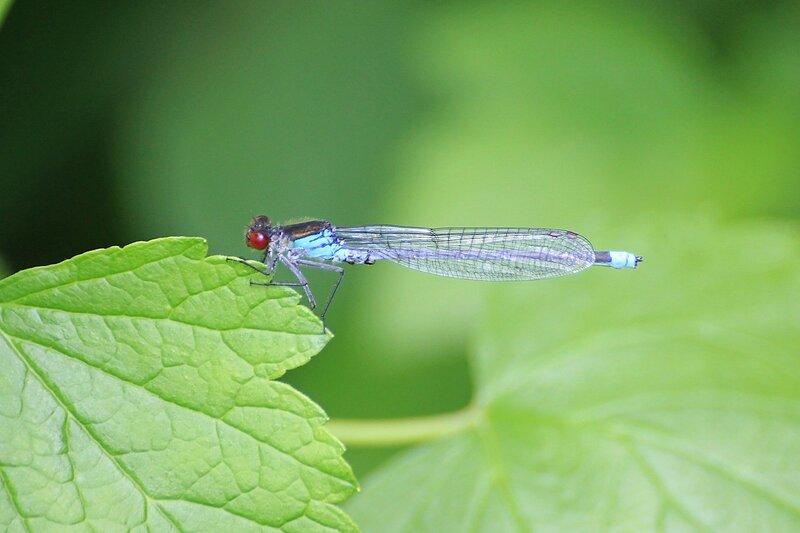 Голубая стрекоза-стрелка с красными глазами на листике у Чёрного озера (Киров)