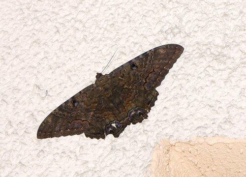 Огромная ямайская ночная бабочка