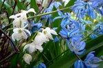 цветы. первоцветы. ботаника. природа. весна. флора. подснежники. ботанический сад МГУ. пролески. растение.