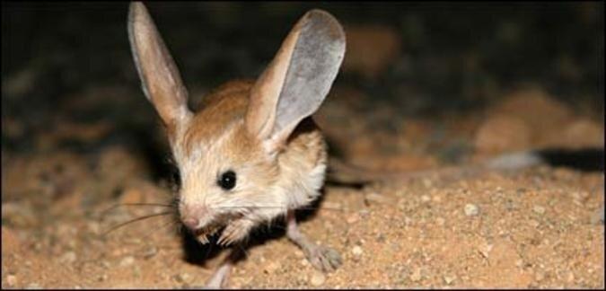 Длинноухий тушканчик (long-eared jerboa)