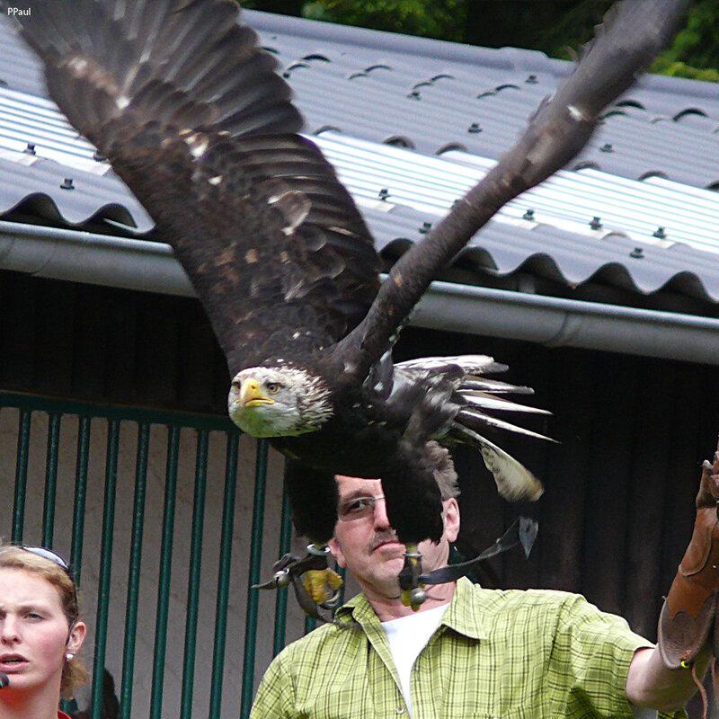 Хищные птицы в Заповеднике Айфель