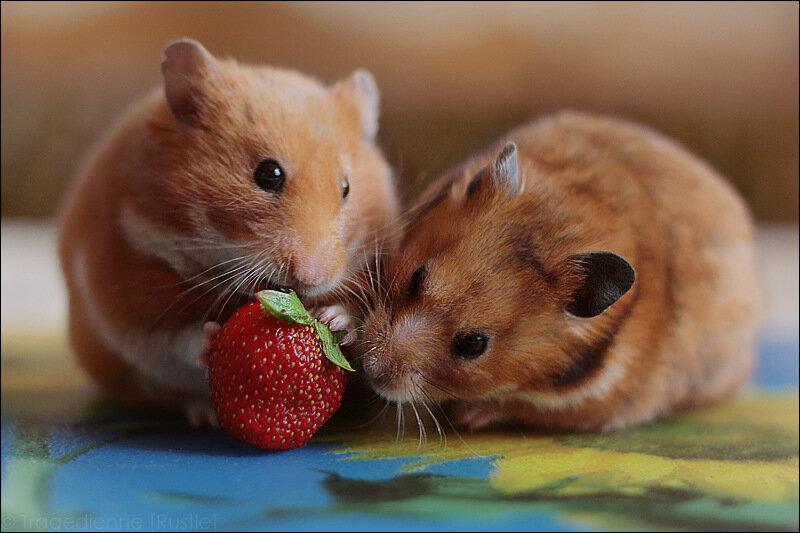 Картинка люблю хомячка