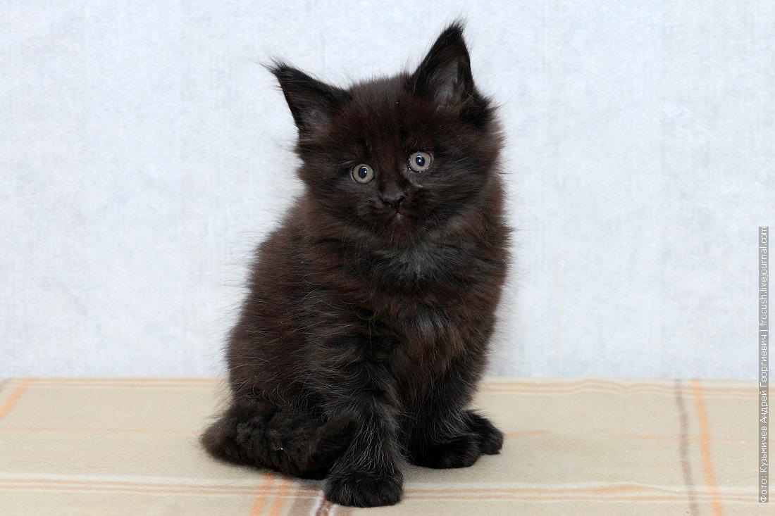 котята мейн кун купить в Москве