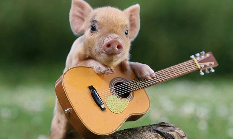 Свиньи умнее, чем собаки