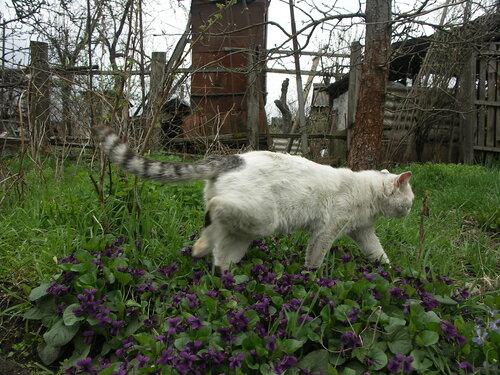 Расцвели в саду фиалки, их топтать совсем не жалко...