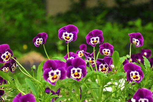 В душу нам глядят цветы земли,                                   Добрым взглядом всех кто с нами рядом...                Р.Гамзатов