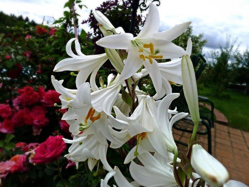Лилия белоснежная (L.candidum)  видовая