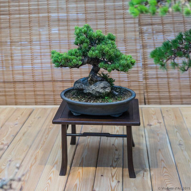 Сосна мелкоцветковая (белая японская сосна). Возраст - около 30 лет.