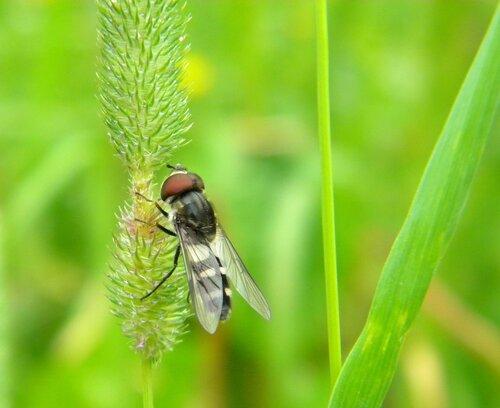 Голодная муха