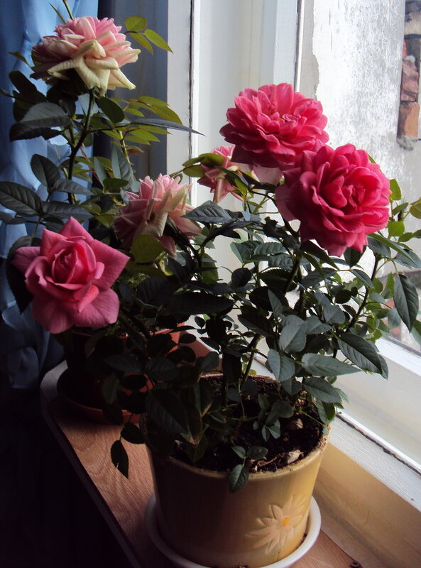 Почему не цветёт роза в домашних условиях 22