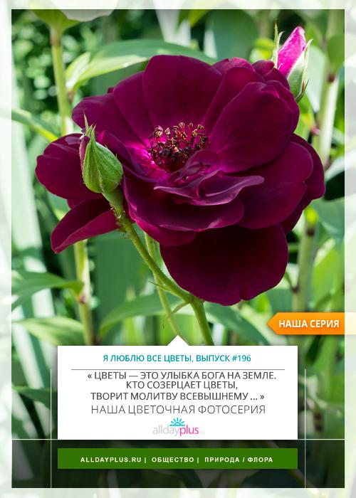 Я люблю все цветы, выпуск 196 | Роза - «Королева цветов».