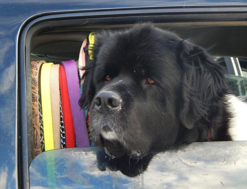 Собаки на фестивале Дни Клондайка.