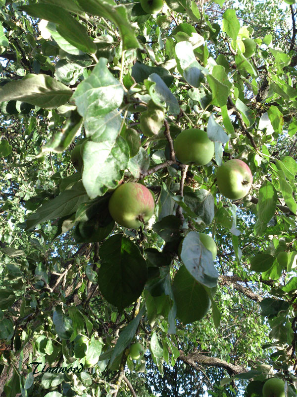 яблоки-27.jpg