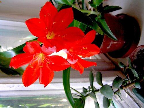 Радует цветением на праздники