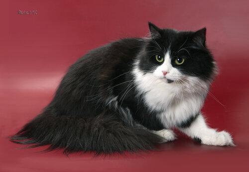 Кот сибирский черно-белый