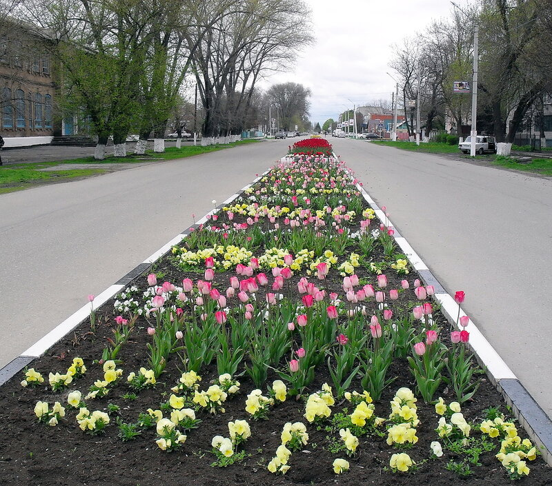 Апрельский тюльпановый рай в Ахтарях. (11)