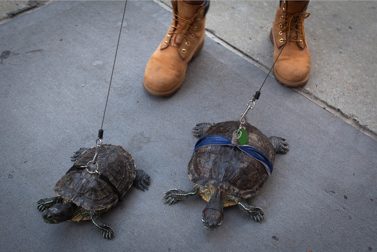 Resident Chris Roland walks his pet turtles Cindy (L) and Kuka up Madison Avenue in the Upper East Side of Manhattan 4 сентября 2014 года