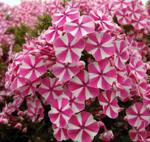флоксы фото садовые цветы как ухаживать