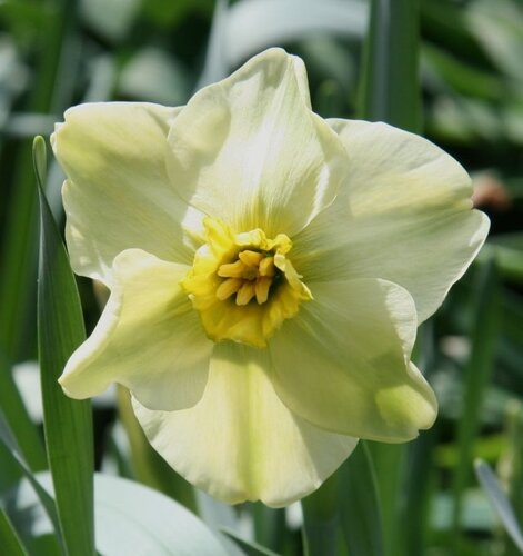 нарцисс в саду фото цветник на даче своими руками