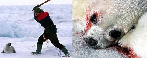 В Канаде убивают беззащитных  бельков - давайте проявим сострадание!