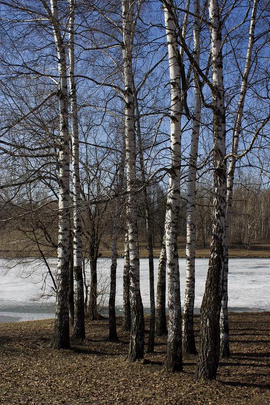 Березки у пруда весной