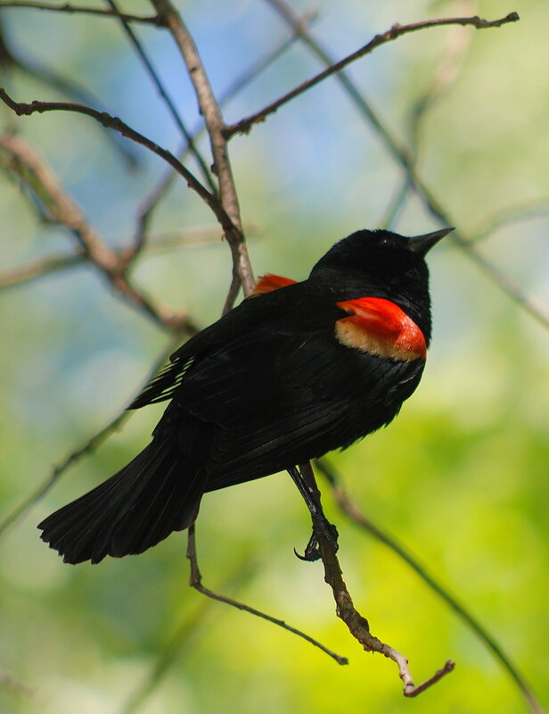 Red-winged blackbird - Красноплечий черный трупиал