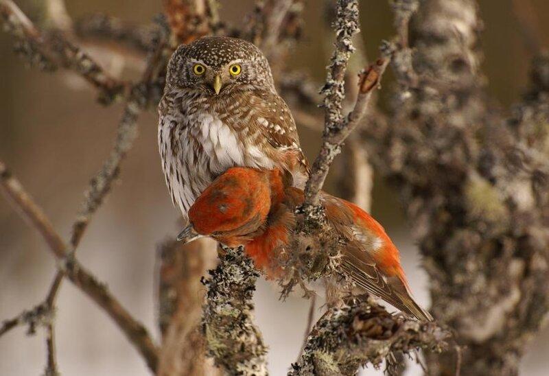 Sparrow Owl
