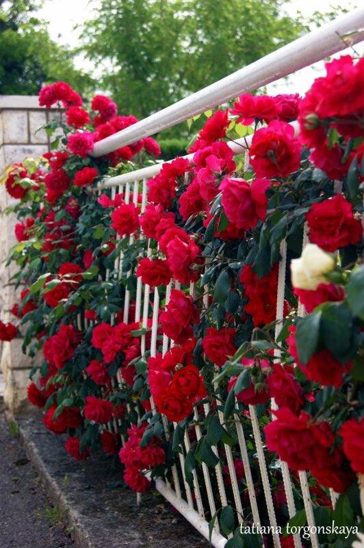 Майские розы