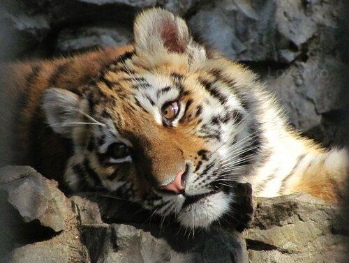 тигрята 2010