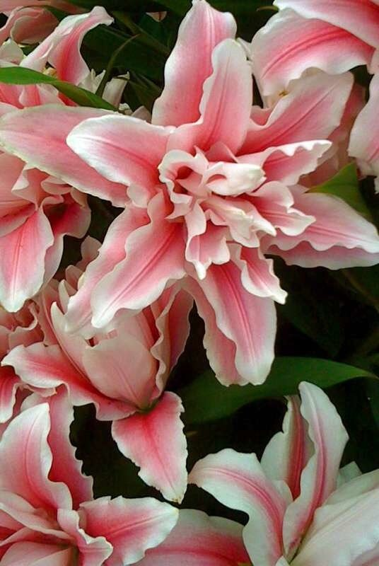 Лилии сорта махровые
