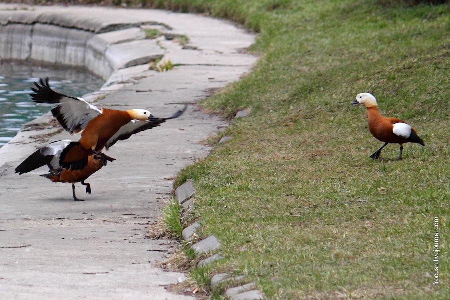 Красные утки прогоняют своего сородича