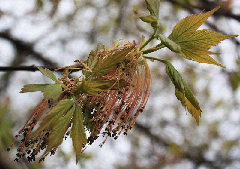 Сережки лиственницы