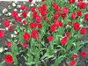 Апрельский тюльпановый рай в Ахтарях. (13)