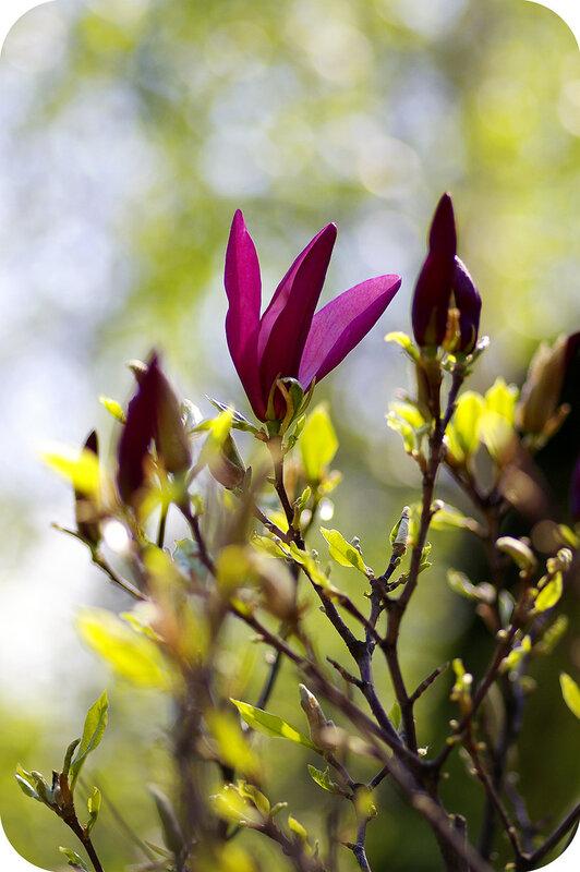 Магнолия собирается цвести