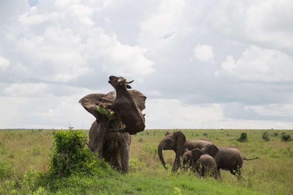 Трагическая встреча слона и буйвола