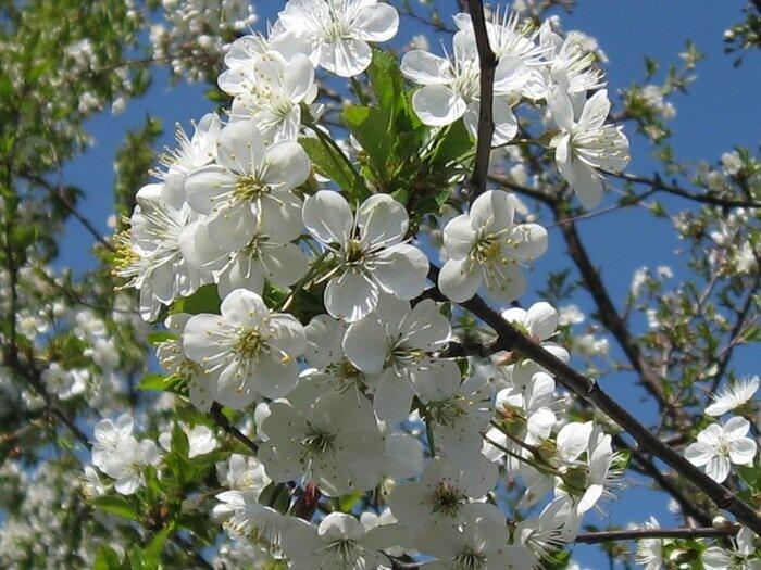 Весна рисует лепестков ажуром нежность...