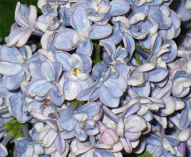 Букет голубой персидской сирени...