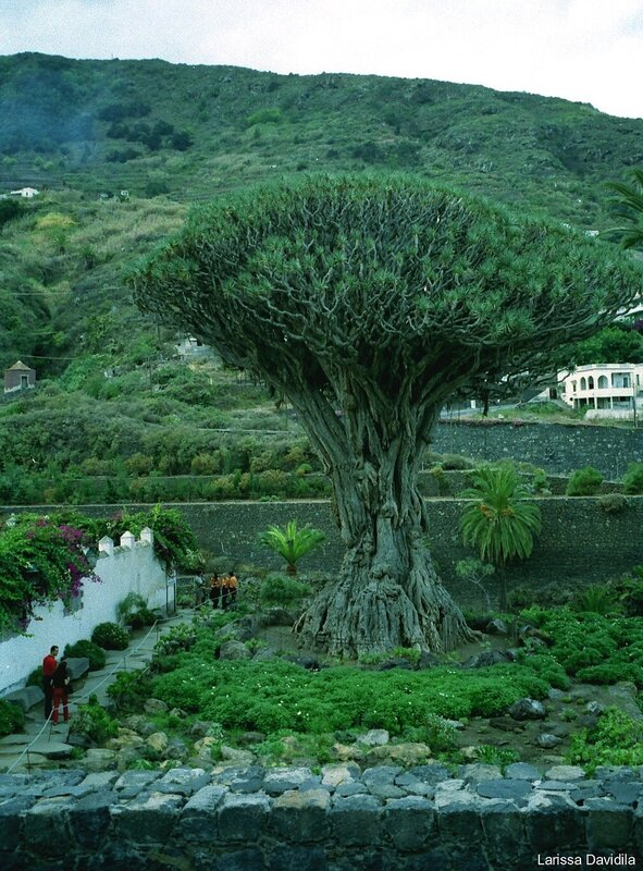 Канары. Тенерифе. Драконовое дерево.