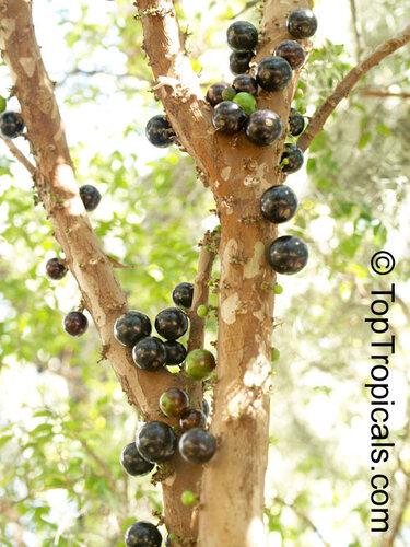 Виноградное дерево, Jabuticaba