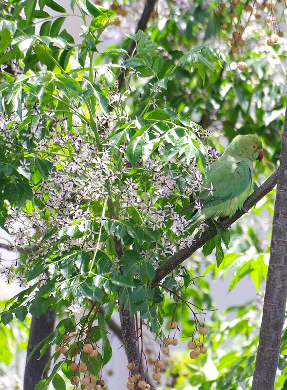 Мелия азедарах (Melia azedarach)