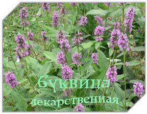 Буквица-трава лечебная