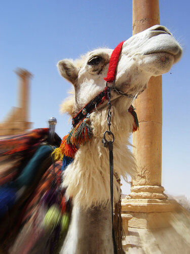 Верблюд с элементом движения