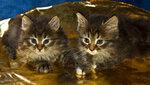 Котят в Добрые руки отдам