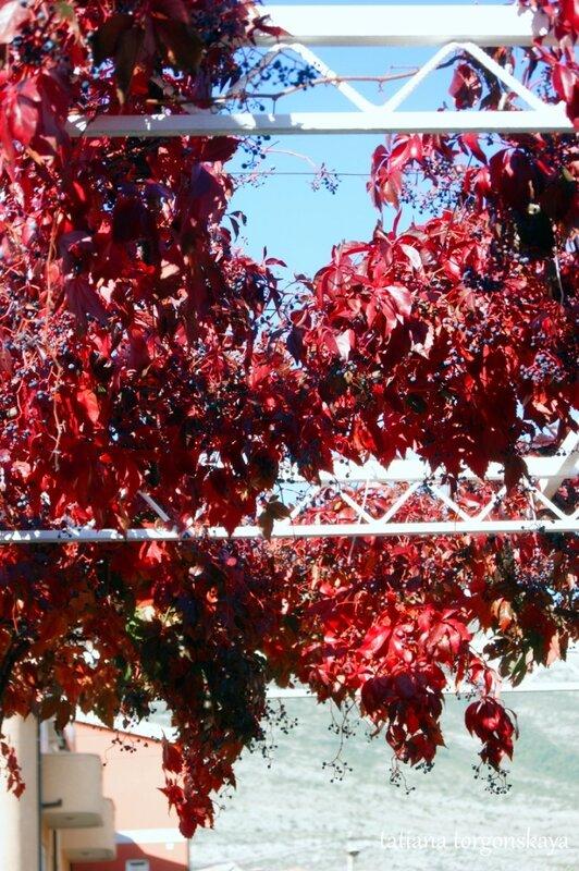Листья девичьго винограда