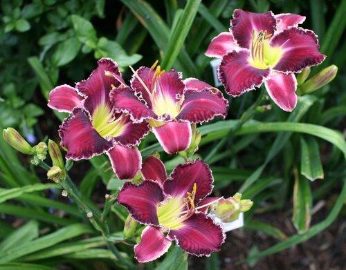 амариллис цветы фото