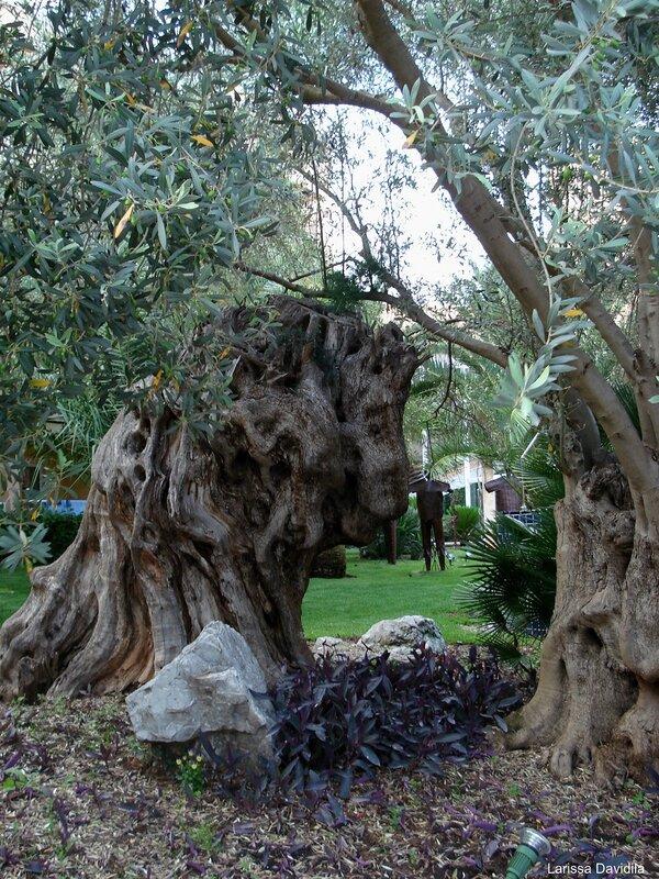 Ствол старого оливкового дерева.