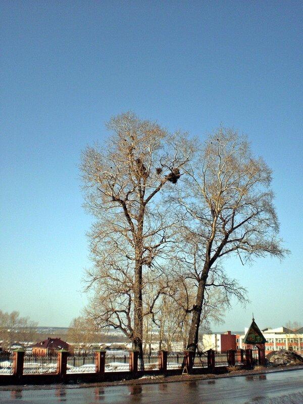 Дерево грачей