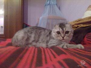 голубойсеребристый тигровый шотландский вислоухий кот