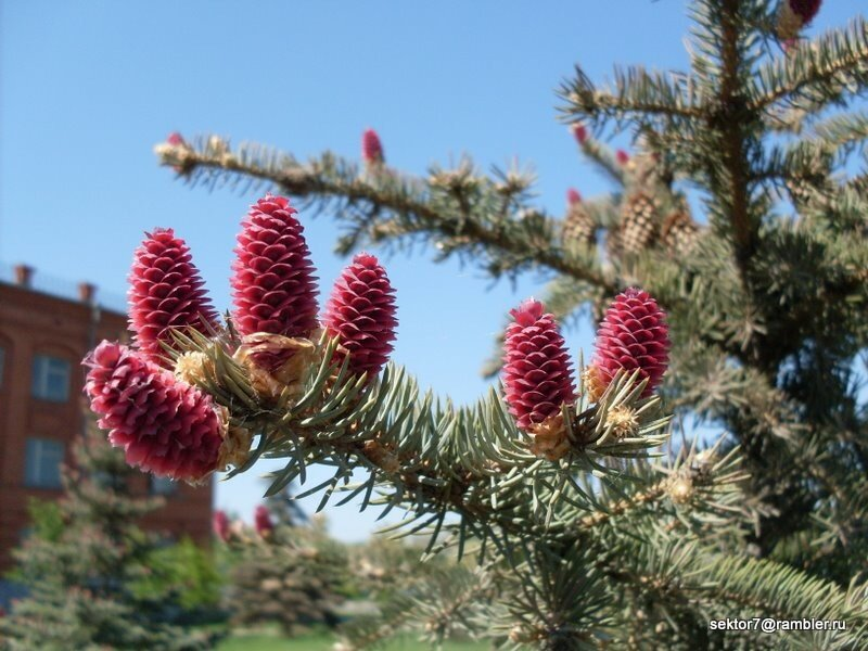 Красные еловые шишки в Троицке или как цветёт ель