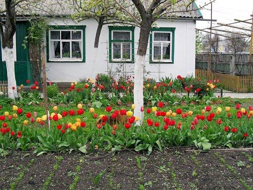 Тюльпаны, весеннее трёхцветье...